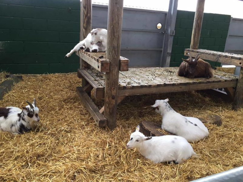 sleepygoats